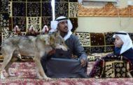 عائلة سعودية تعيش مع الذئاب حفاظاً على موروث قديم !
