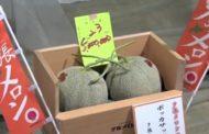 البطيخ الأصفر الياباني في مزاد علني و1114 دولار مقابل زوج من البطيخ الأصفر!!