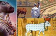 البقرة في الحضارات القديمة.. قدسها المصريون وعبدها الهنود واحتقرها البدو..!!