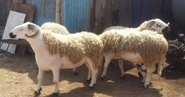 ما الدليل على مشروعية الأضحية (خروف العيد) في عيد الأضحى..؟