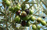اللاذقية.. إنتاج 42 ألف طن من الزيتون..  وصفيحة الزيت تتجاوز الـ100 ألف ليرة سورية