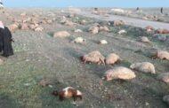 مقتل راع وسرقة وقتل 400 رأس من الأغنام في ريف حماة الشرقي